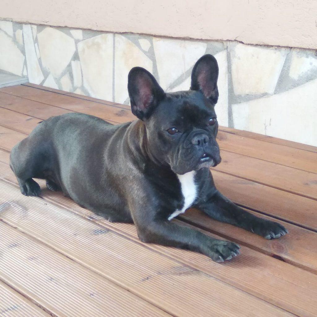 csíkos francia bulldog