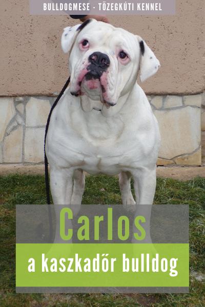 Carlos a kaszkadőr bulldog