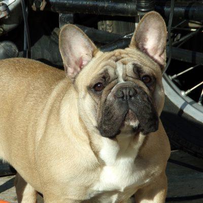 bézs francia bulldog szuka
