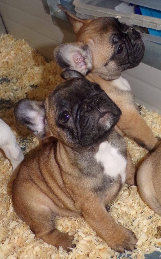 sötét bézs francia bulldog szuka