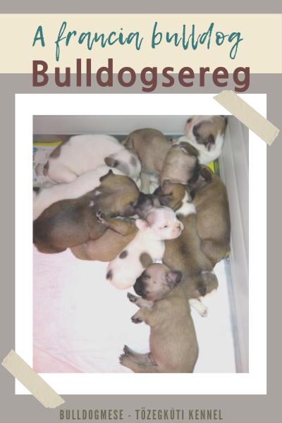 A francia bulldog - Bulldogsereg