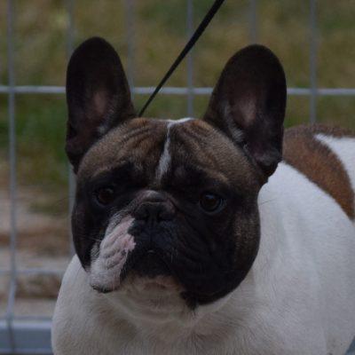 foltos francia bulldog kan