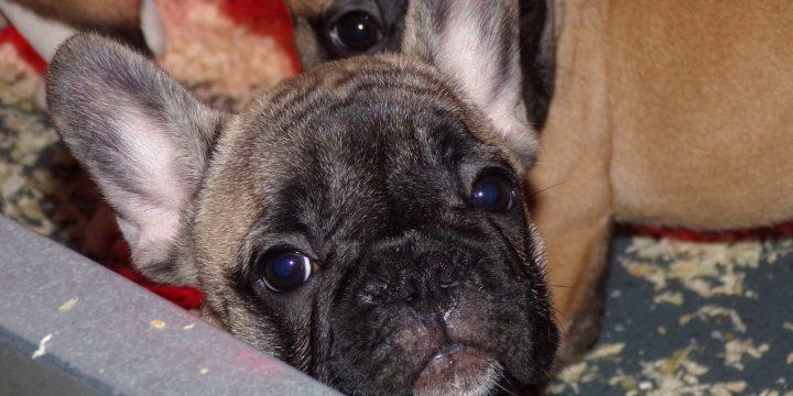 Elérhető kiskutyák – sötét bézs és foltos francia bulldog