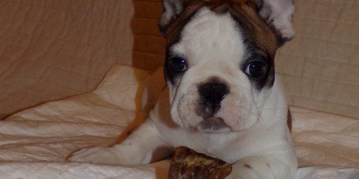 Eladó sötét bézs és foltos francia bulldog kiskutyák