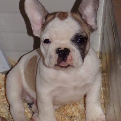 eladó foltos francia bulldog kiskutya