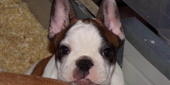 1 sötét bézs kan és 3 foltos kan francia bulldog kiskutya eladó