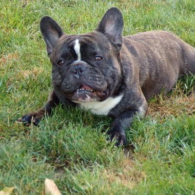 csíkos francia bulldog kan