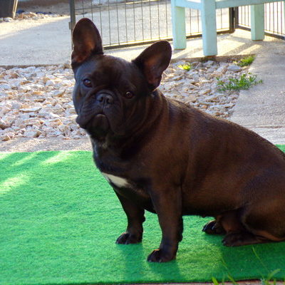 csíkos francia bulldog szuka