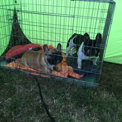 csíkos-foltos francia bulldog kan