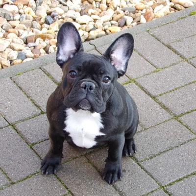 csíkos francia bulldog szuka kiskutya eladó