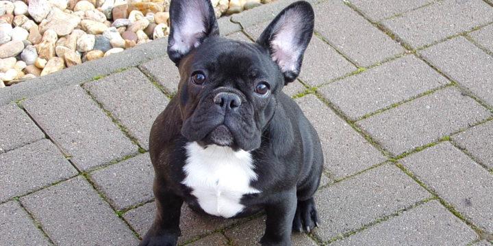Eladó csíkos szuka francia bulldog kiskutya