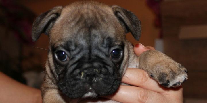Elérhető francia bulldog kan kiskutyák